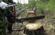 В Южном Дагестане неизвестные вырубили на корню 169 сосен