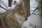 С волками – жить. Почему «серый» не так страшен, как его малюют