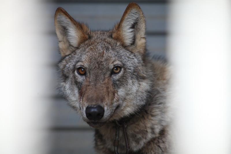 «Семендерская волчица» попалась во время охоты на кур (ФОТО)