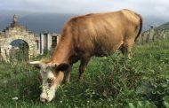 Дагестан сохранил лидерство среди регионов России по поголовью коров