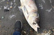 Эксперты: у мертвой рыбы в озере Ак-Гёль выявлены изменения внутренних органов