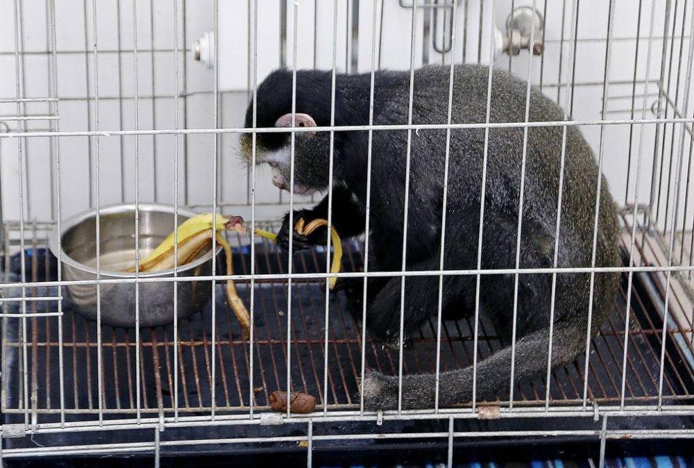 Львенка и обезьяну, изъятых у дагестанца в машине, отправят в крымский зоопарк