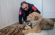 Вывезенный из Дагестана в Челябинск больной львенок сделал первые шаги (ФОТО, ВИДЕО)