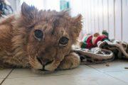 Суд в Избербаше ограничил свободу фотографу за жестокое обращение со львенком