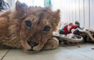 Возбуждено уголовное дело по факту жестокого обращения со львенком в Избербаше