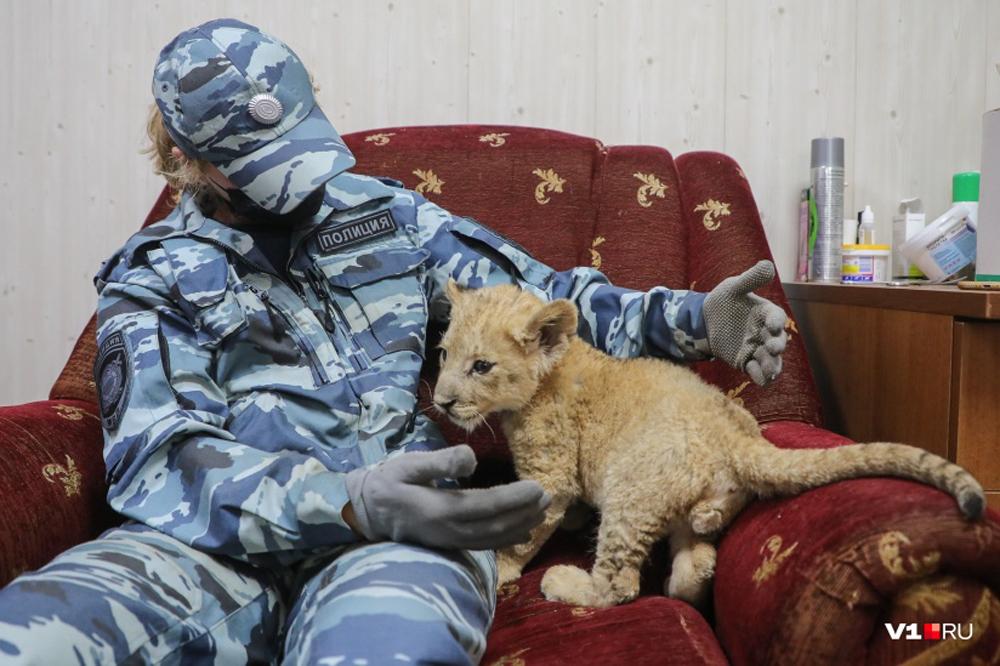 Полицейские нашли львенка в багажнике рейсового автобуса «Махачкала - Москва»