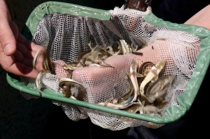 В водоемы Дагестана выпущено 500 тыс. экземпляров молоди осетровых