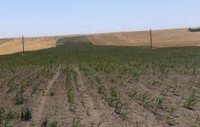 В Дагестане вспомнили о чистом паре и смогли вдвое повысить урожайность зерновых