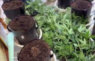 На съемной квартире в Махачкале обнаружена мини-плантация марихуаны