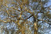 Дербентский платан победил в конкурсе «Российское дерево года 2020»