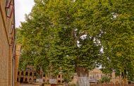 Платан из Дербента станет участником конкурса «Европейское дерево года – 2021»