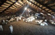 Оспа овец названа возможной причиной падежа скота в Хунзахском районе