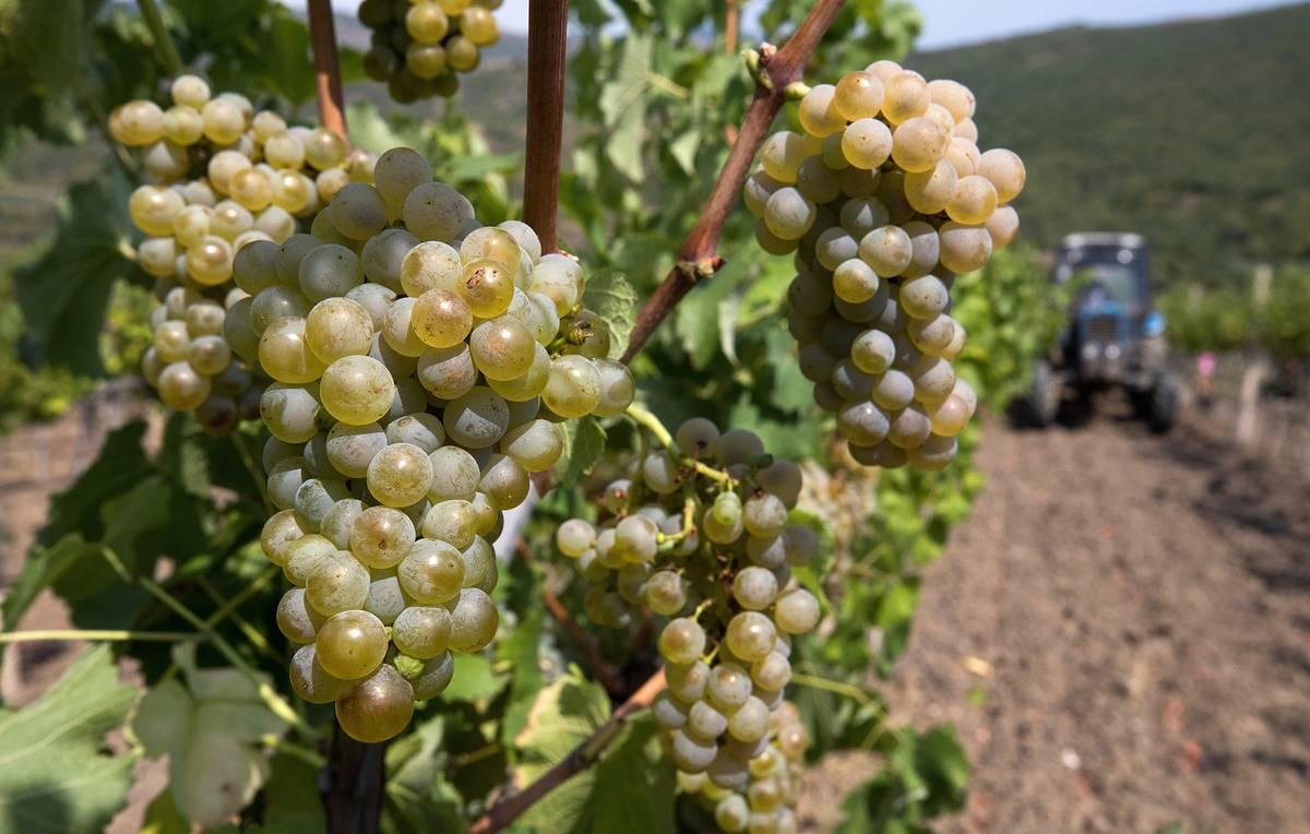 Развитие виноградарства обсудили в правительстве Дагестана