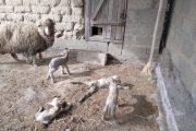 В Кизлярском районе  овца родила сразу четырех ягнят