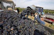 Аграрии Дагестана в этом году планируют продолжить собирать рекордный урожай винограда