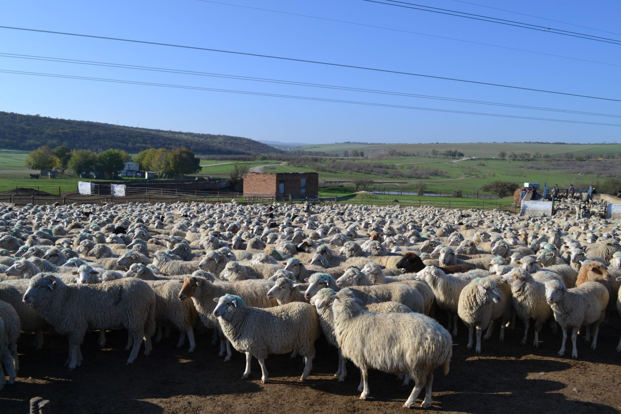 Вице-премьер Дагестана рассказал на Российской выставке о развитии овцеводства в регионе