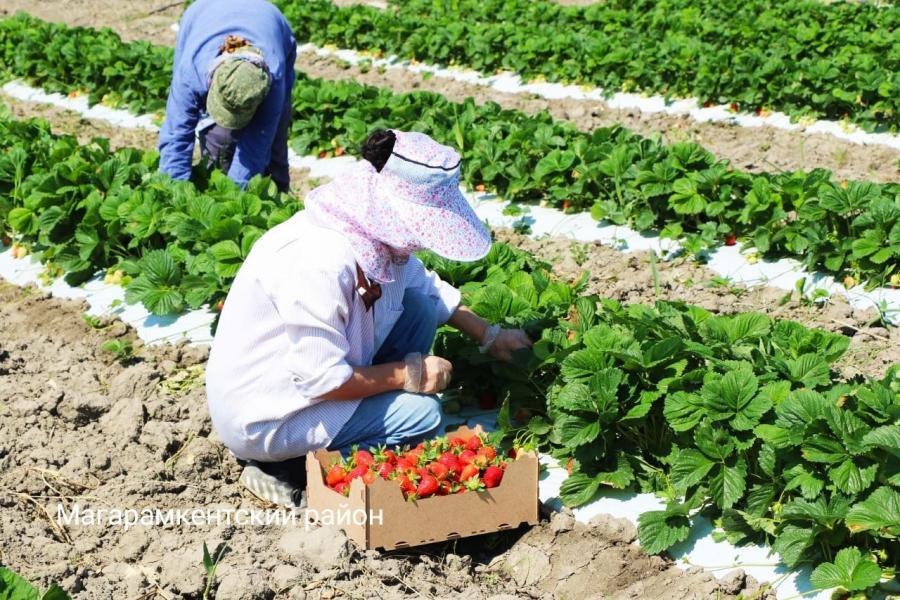 В Магарамкентском районе в разгаре сбор урожая клубники