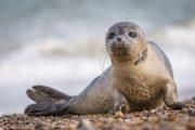 Названа причина гибели каспийского тюленя в Дагестане