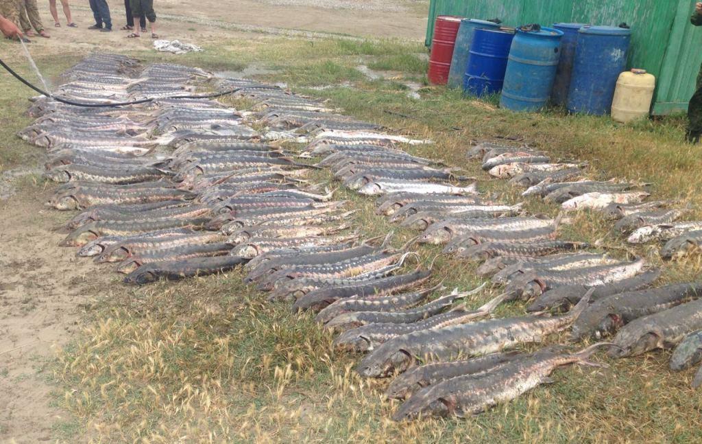 Обнаружен схрон с рыбой осетровых видов