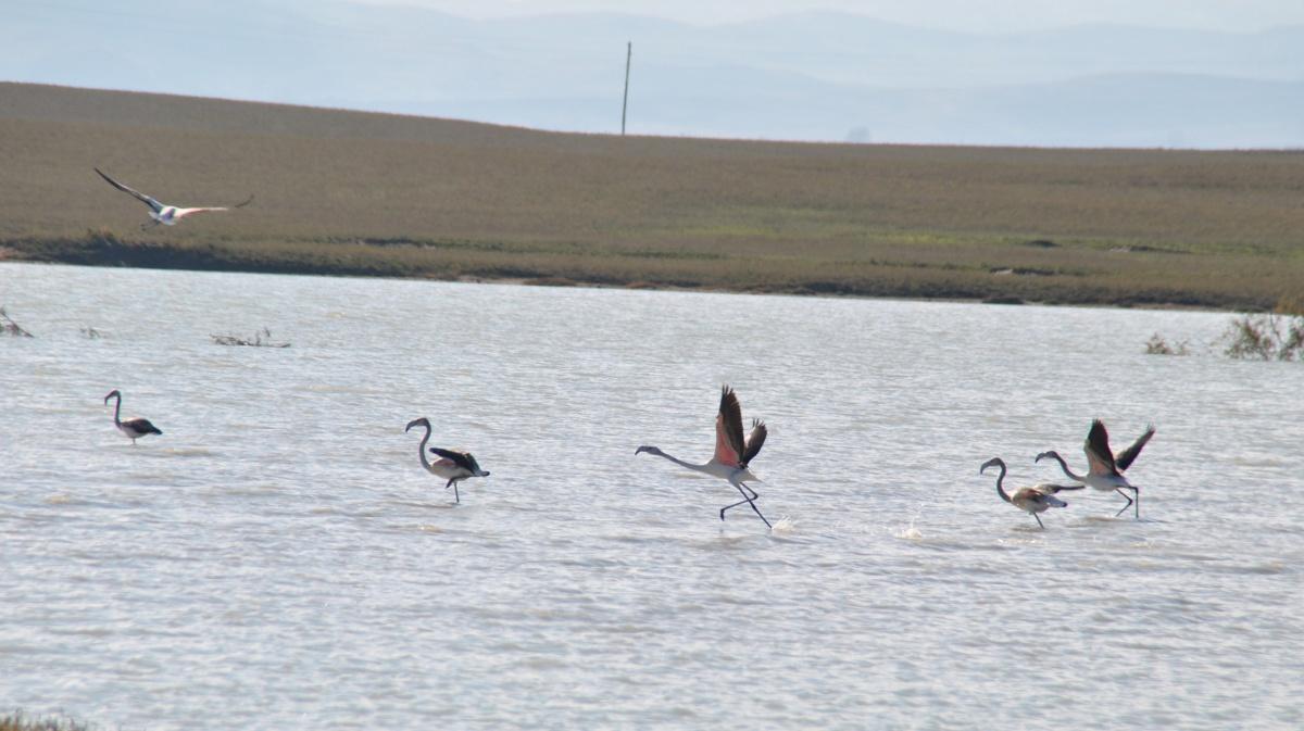 Фламинго осваивают новые территории в Дагестане