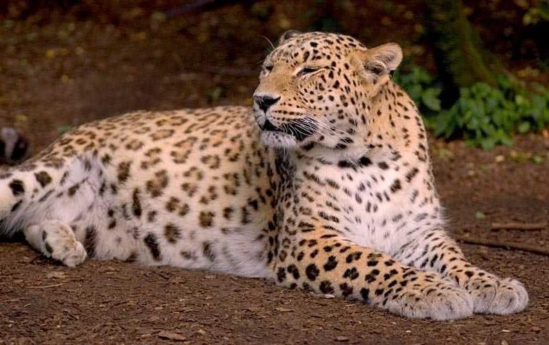 Тляратинский заказник расширяют ради леопардов