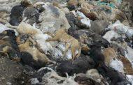Несанкционированные свалки с трупами животных выявил Россельхознадзор в Тарумовском районе