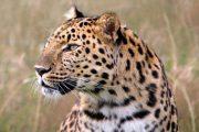 Нашелся леопард, пропавший в Дагестане