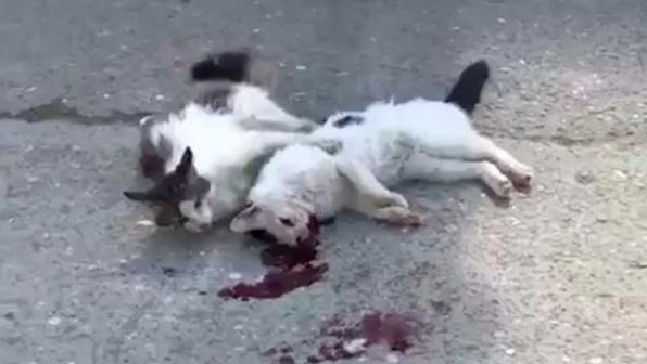В Махачкале кот пытался спасти умирающего друга