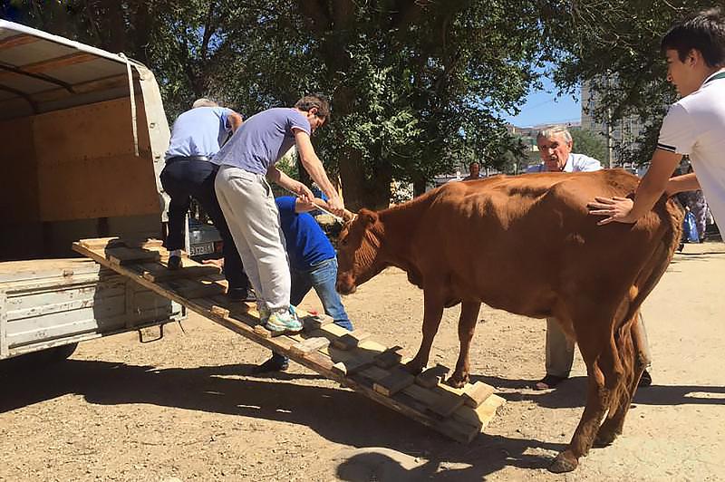 Власти Махачкалы продолжают ловить коров