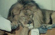 Лев по имени Гайдар прогуливается по Махачкале (видео)