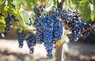 Дагестан перевыполнил план по весенней закладке винограда
