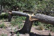 В Эльтавском лесу спилили 20 деревьев