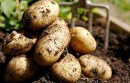 Кумторкалинские фермеры вырастили небывалый урожай картофеля