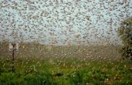 В Дагестане борьба с саранчой охватила 87 тысяч гектаров