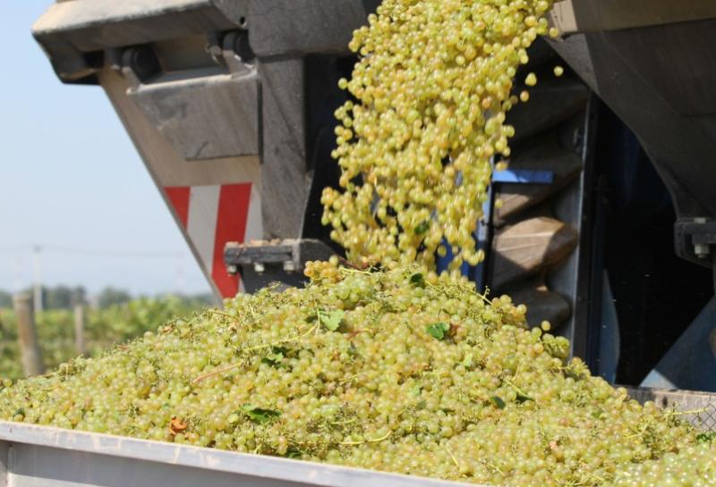 Дагестанские аграрии взялись за виноград