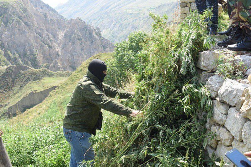 В Хунзахском районе уничтожили посевы конопли