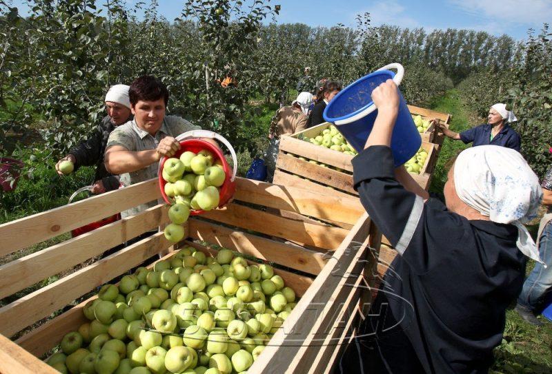 В Дагестане собрано 930 тысяч тонн овощей и 130 тысяч тонн плодов