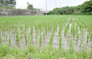 В Дагестане собрали более 4 тысяч тонн риса