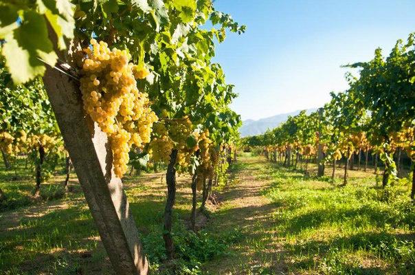Дагестан станет крупнейшим переработчиком винограда в стране