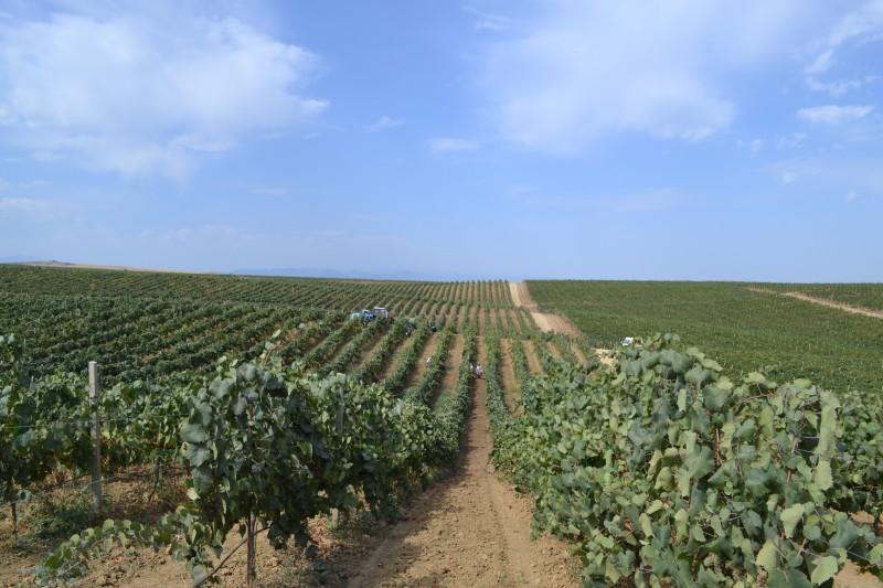 Урожай винограда в республике побил прошлогодний рекорд