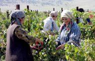 Площадь виноградных плантаций Дагестана увеличится еще на 1,5 тысячу гектаров