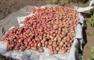 Россельхознадзор временно запретил ввоз египетского картофеля