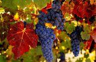 В Дагестане планируют собрать 180 тысяч тонн винограда