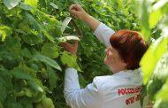 Россельхознадзор ищет карантинные объекты в теплицах Дагестана