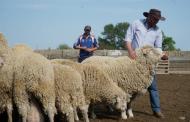 Дагестанских овец представят на Российской выставке племенных овец и коз