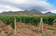 В Дагестане перевыполнен план по весенней закладке виноградников