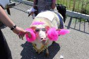 В конкурсе на самую красивую овцу победила Принцесса Айша