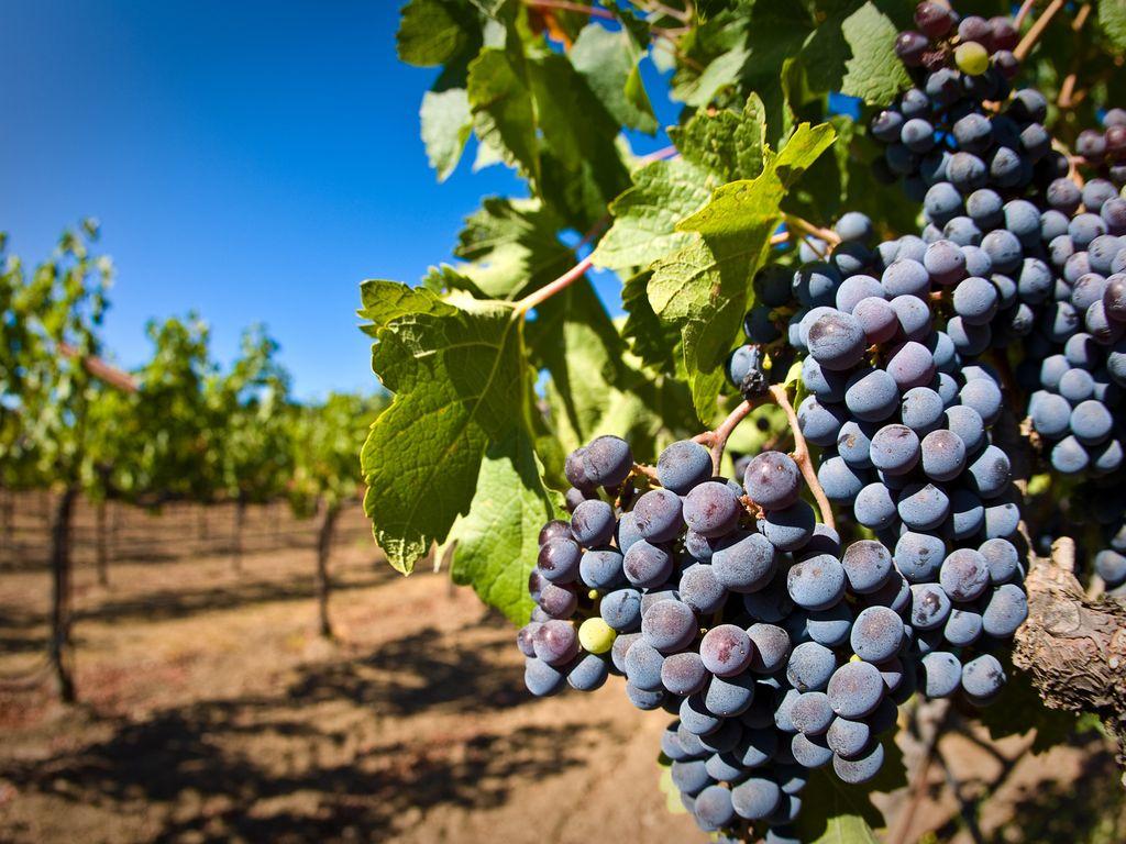 В Дагестане собрано около 140 тысяч тонн винограда